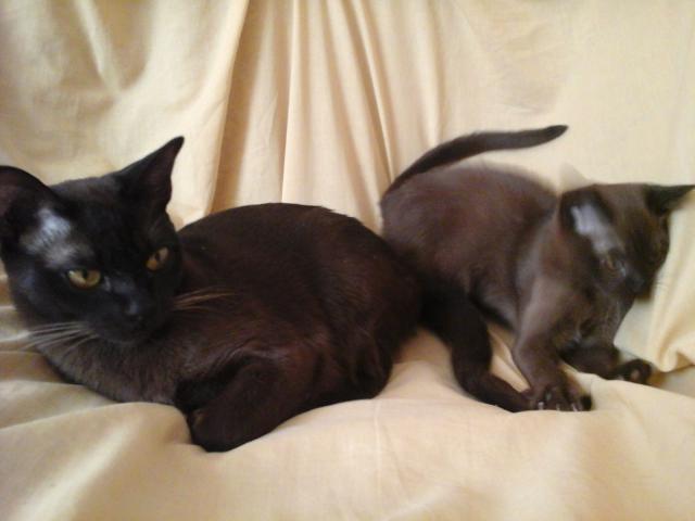 Кошка. Европейская бурманская. Продаю в Санкт-Петербурге