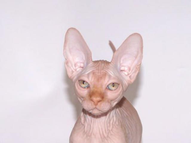 Кошка. Канадский сфинкс. Продаю в Москве