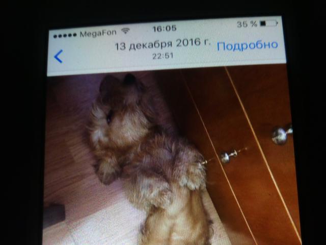 Собака. Такса карликовая. Вязка в Санкт-Петербурге
