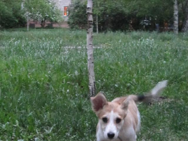 Собака.  Бeспородные и метисы . Потеря/Находка в Барнауле