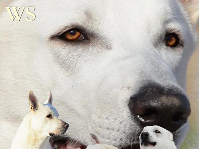 Собака. Белая швейцарская овчарка. Продаю в Москве