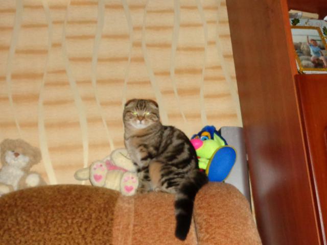 Кошка. Бразильская короткошерстная. Продаю в Москве