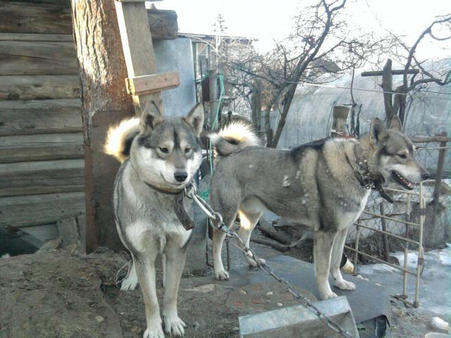 Собака. Западносибирская лайка. Продаю в Люберцах