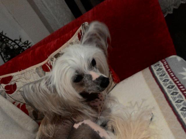 Собака. Китайская хохлатая собака . Потеря/Находка в Красноярске