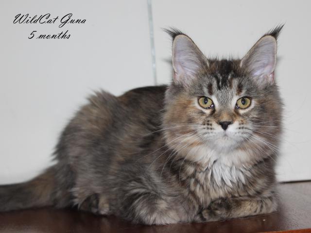 Кошка. Мэйн-кун . Продаю в Красноярске