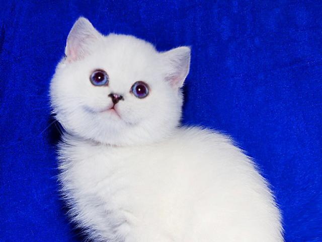 Кошка. Британская короткошерстная. Продаю в Москве