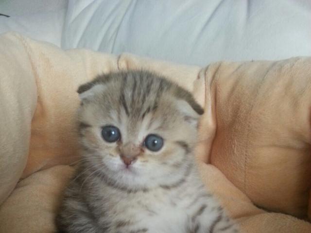 Кошка. Шотландская вислоухая (короткошерстная). Продаю в Зеленоградом