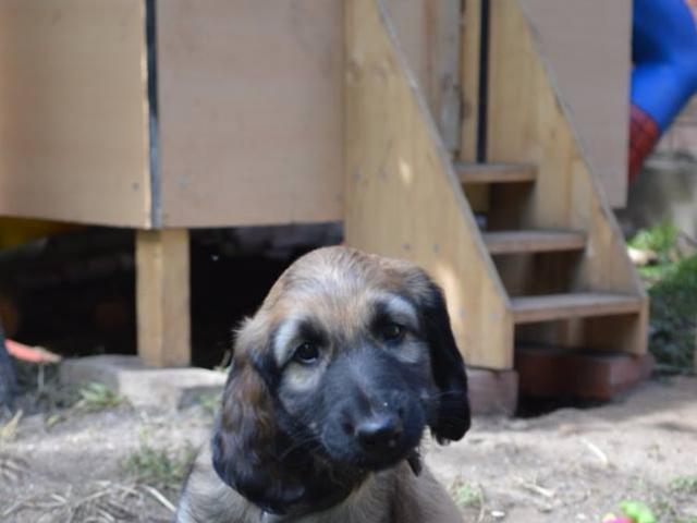 Собака. Афганская борзая. Продаю в Санкт-Петербурге