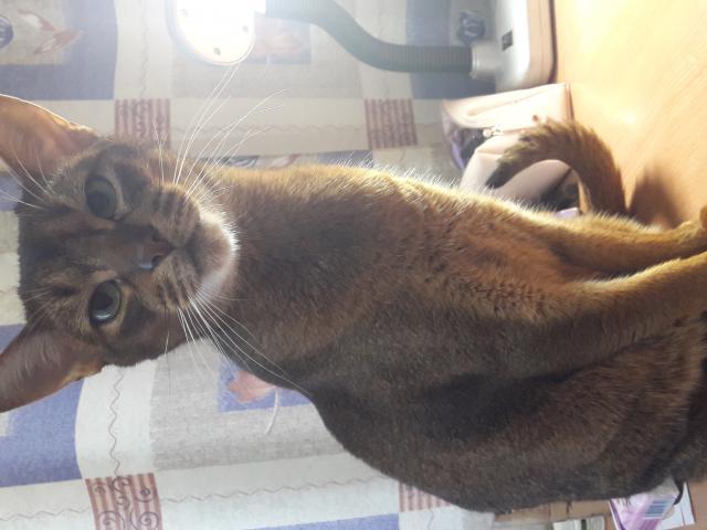 Кошка. Абиссинская. Возьму в дар в Санкт-Петербурге