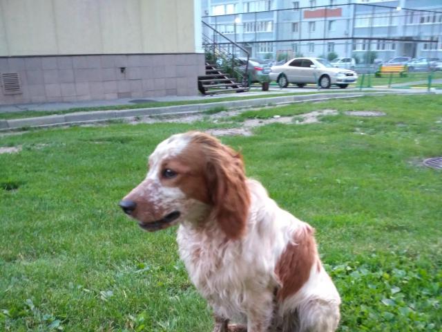 Собака. Русский охотничий спаниель. Потеря/Находка в Барнауле