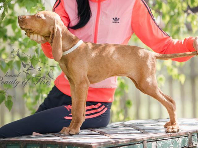 Собака. Венгерская легавая (выжла) короткошерстная. Продаю в Москве