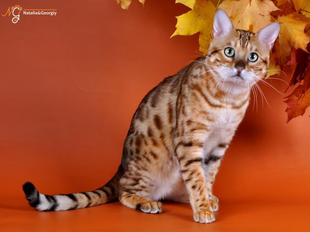 Кошка. Бенгальская короткошерстная. Вязка в Екатеринбурге