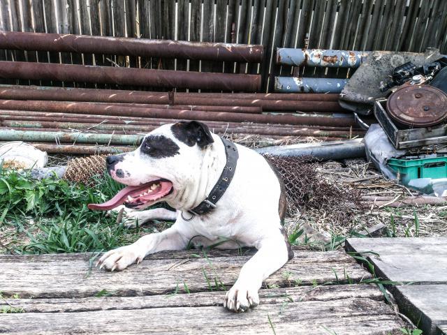 Собака. Американский стаффордширский терьер. Вязка в Тюмени