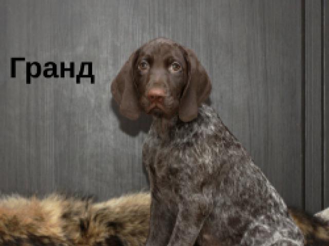 Собака. Немецкий курцхаар. Продаю в Санкт-Петербурге