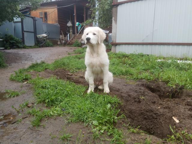 Собака. Маремма-абруцкая овчарка. Продаю в Москве
