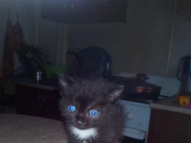 Кошка. Сибирская. Отдам в дар в Челябинске