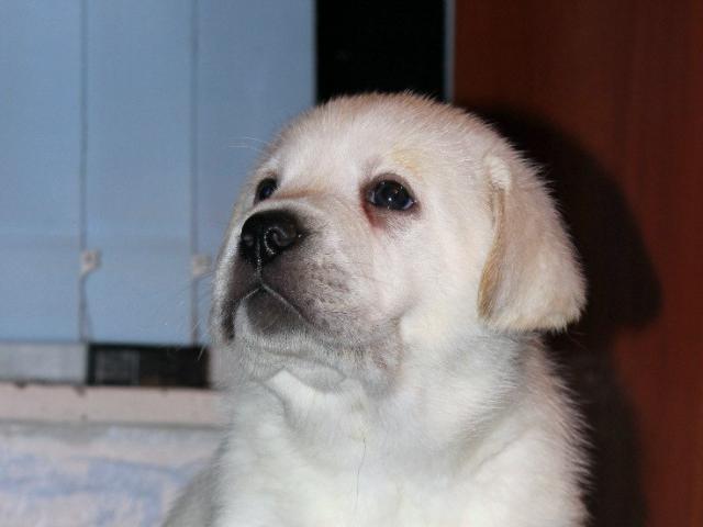 Собака. Лабрадор ретривер. Продаю в Москве