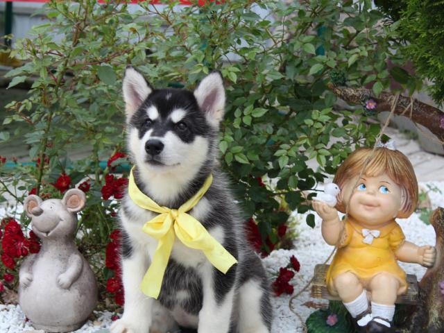 Собака. Аляскинский маламут . Продаю в Самаре
