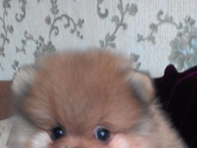 Собака. Немецкий шпиц карликовый (померанский). Продаю в Нижнем Новгороде