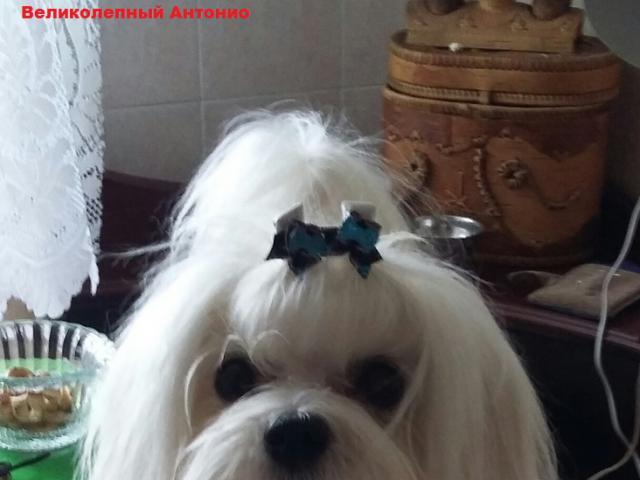 Собака. Мальтезе. Продаю в Нижнем Новгороде