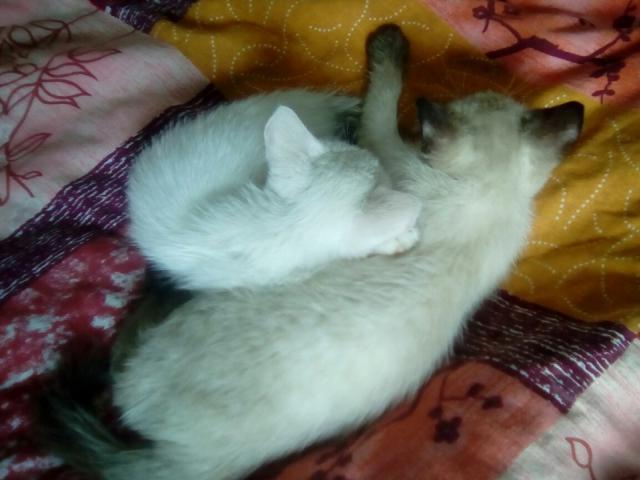 Кошка. Сиамская. Отдам в дар в Новосибирске