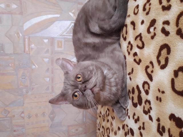 Кошка. Британская короткошерстная. Вязка в Челябинске
