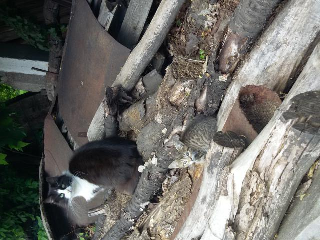 Кошка. Сибирская. Отдам в дар в Щелково