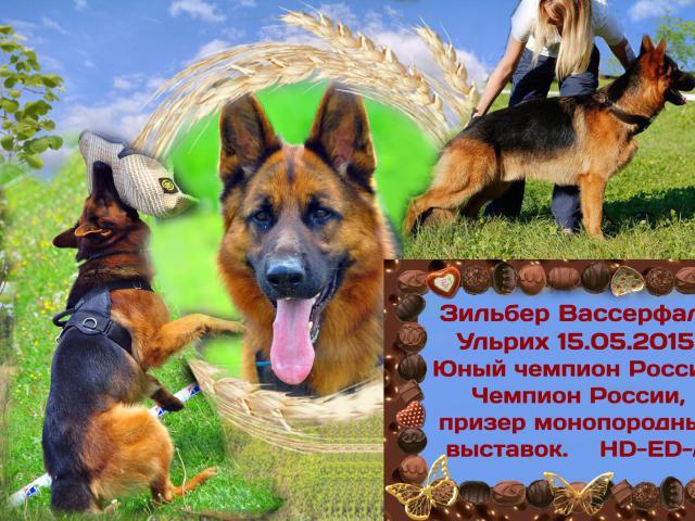 Собака. Немецкая овчарка. Вязка в Санкт-Петербурге