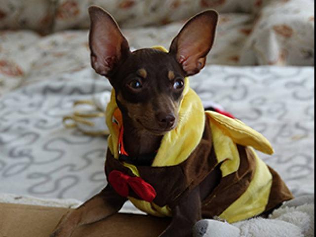 Собака. Пражский крысарик (ратлик) . Продаю в Краснодаре