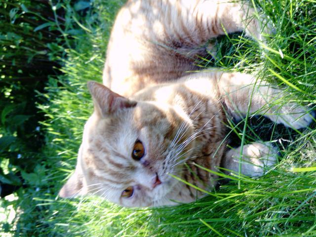 Кошка. Скоттиш-страйт. Вязка в Раменском