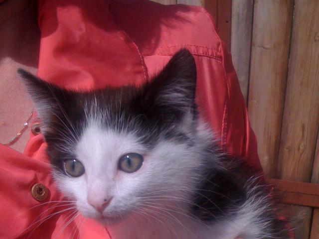 Кошка.  Беспородные и метисы . Отдам в дар в Екатеринбурге
