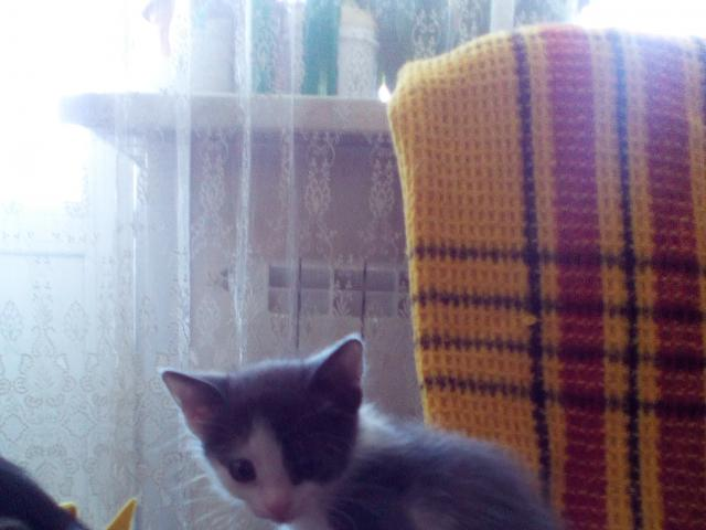 Кошка.  Беспородные и метисы . Отдам в дар в Красноярске