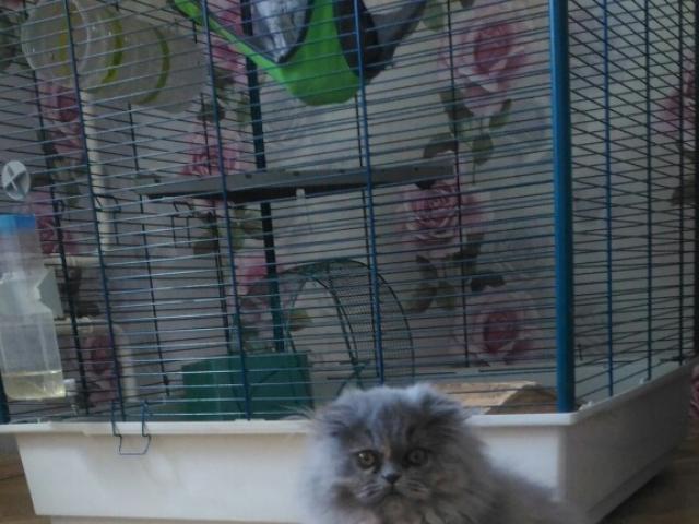 Кошка. Персидская. Продаю в Москве