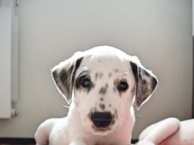 Собака. Далматин. Продаю в Зеленоградом