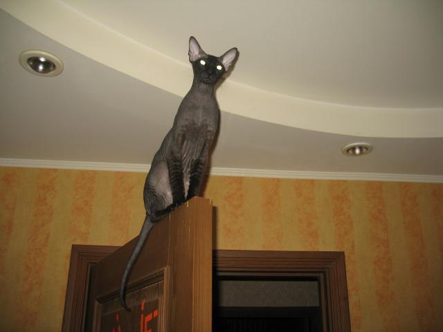 Кошка. Петерболд (Петербургский сфинкс). Продаю в Санкт-Петербурге