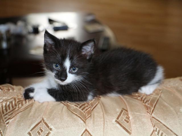 Кошка.  Беспородные и метисы . Отдам в дар в Ростове-на-Дону
