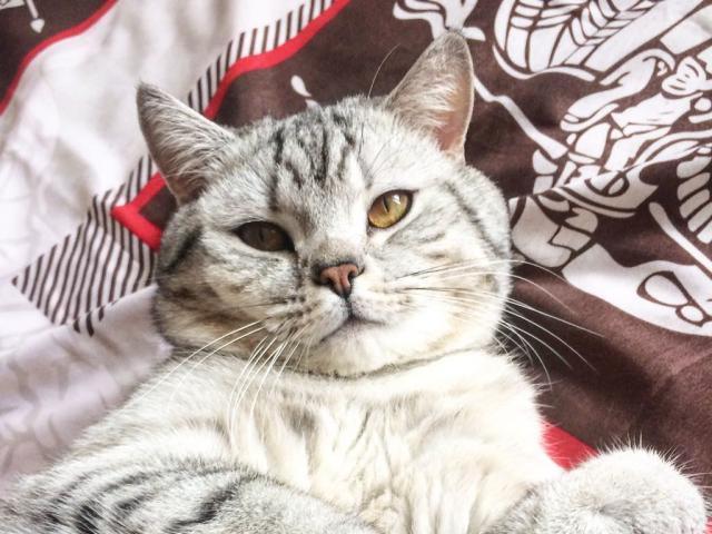 Кошка. Британская длинношерстная. Вязка в Подольске