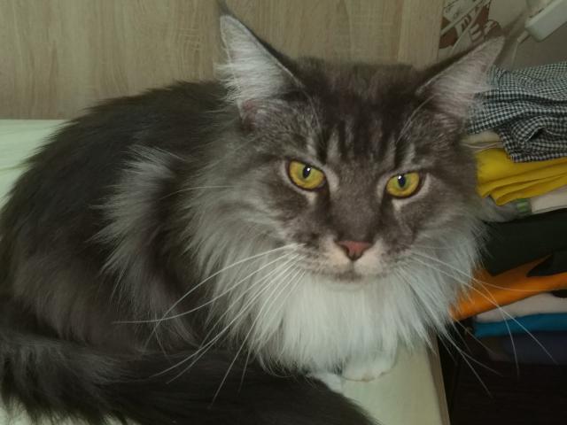 Кошка. Мэйн-кун . Отдам в дар в Москве
