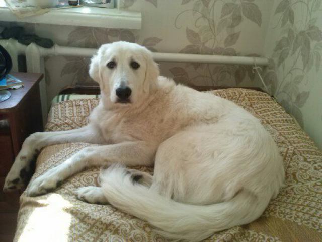 Собака. Маремма-абруцкая овчарка. Потеря/Находка в Москве