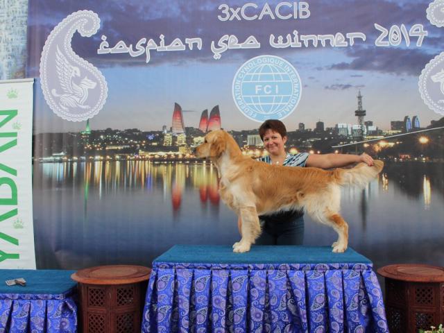 Собака. Золотистый (голден) ретривер. Продаю в Новосибирске