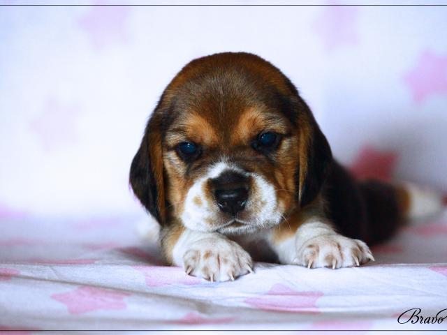 Собака. Бигль. Продаю в Москве