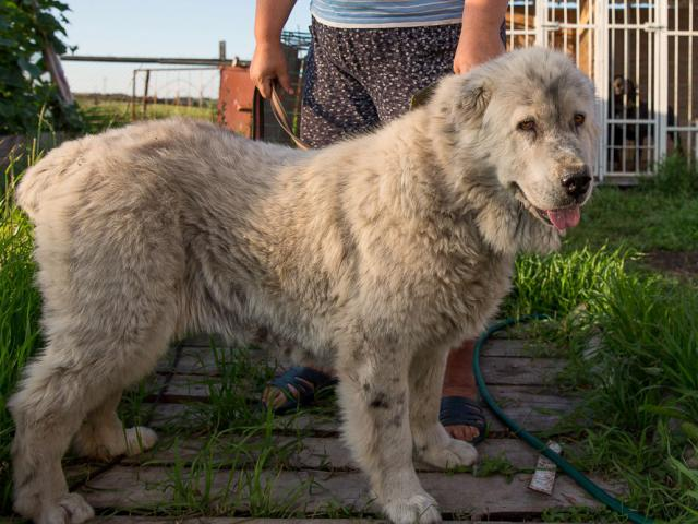 Собака. Среднеазиатская овчарка (Алабай). Отдам в дар в Екатеринбурге