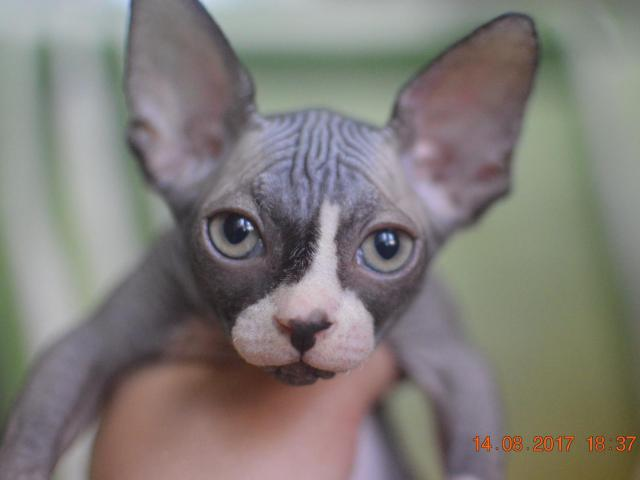 Кошка. Канадский сфинкс. Продаю в Анапе