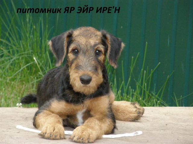 Собака. Эрдельтерьер. Продаю в Ярославле