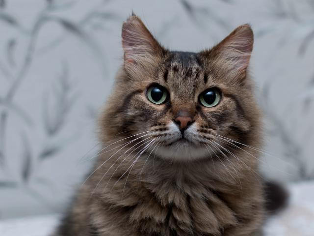 Кошка. Сибирская. Отдам в дар в Мытищах