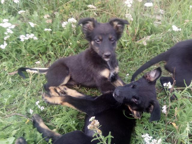 Собака. Восточноевропейская овчарка . Отдам в дар в Иркутске