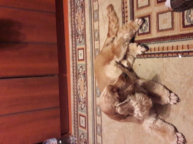 Собака. Английский кокер спаниель. Вязка в Краснодаре