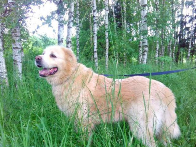 Собака. Кавказская овчарка. Отдам в дар в Москве