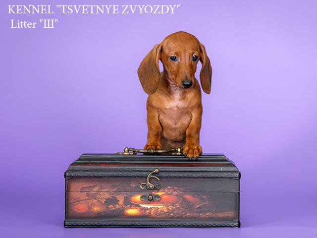 Собака. Такса карликовая. Продаю в Москве