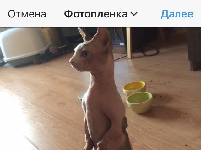 Кошка. Бамбино. Вязка в Москве